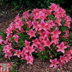 Rhododendron 'Pink Pancake' (Azalea Group)