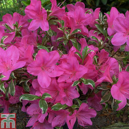 Rhododendron 'Salmon's Leap' (Azalea Group)