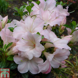 Rhododendron 'Sir Robert' (Azalea Group)