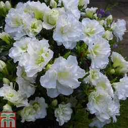 Rhododendron 'Snow Pearl' (Azalea Group)