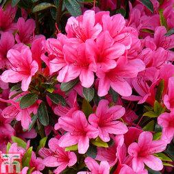 Rhododendron 'Silvester' (Azalea Group)