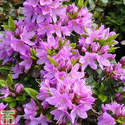 Rhododendron 'Tit-willow' (Azalea Group)