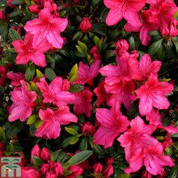 Rhododendron 'Vuyk's Scarlet' (Azalea Group)