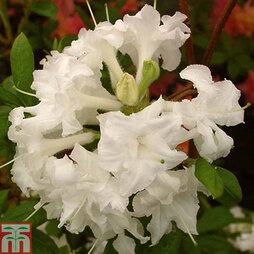 Rhododendron 'Whitethroat' (Azalea Group)