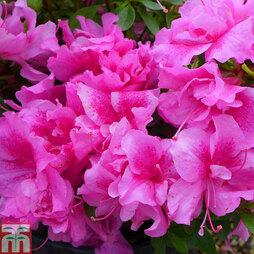 Rhododendron 'Wombat' (Azalea Group)