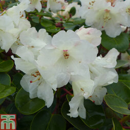 Rhododendron 'Cowslip'