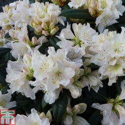 Rhododendron 'Dora Amateis'