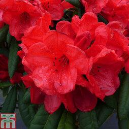 Rhododendron 'Elizabeth Red Foliage'