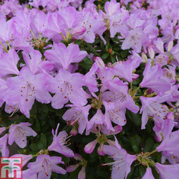 Rhododendron 'Snipe'