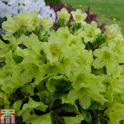 Rhododendron 'Swift'