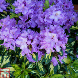 Rhododendron 'Molten Gold'
