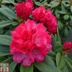 Rhododendron 'Red Dawn'