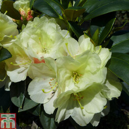 Rhododendron 'Lemon Dream'