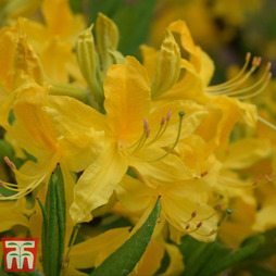 Rhododendron 'Harvest Moon'