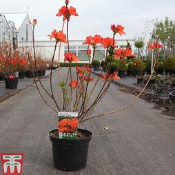 Rhododendron 'Koningin Emma'