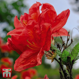 Rhododendron 'Koster's Brilliant Red'