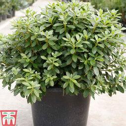 Rhododendron 'Luzi'