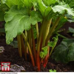 Rhubarb 'Giant Grooveless Crimson' (Spring/Autumn Planting)