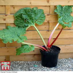 Rhubarb 'Thompson's Terrifically Tasty' (Spring/Autumn Planting)
