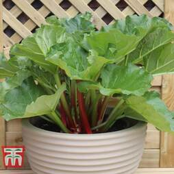 Rhubarb 'Sanvitos® Summer'