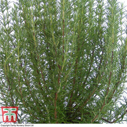 Rosemary 'Miss Jessop's Upright'