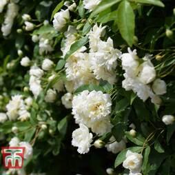 Rose banksiae var. banksiae (Climbing Rose)