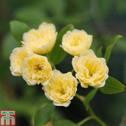 Rose banksiae 'Lutea' (Climbing Rose)