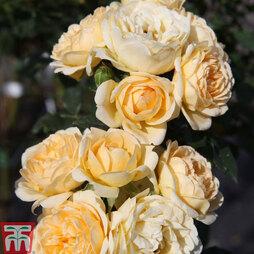 Rose 'Lucky!' (Floribunda Rose)