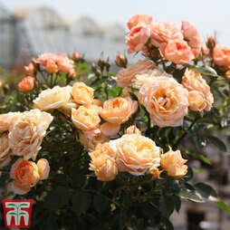 Rose 'Sweetie' (Patio Rose Standard)
