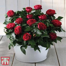 Festive Rose Bowl - Gift