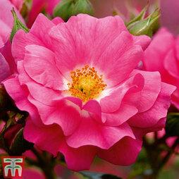 Rose Pink Flower Carpet (Groundcover Rose)