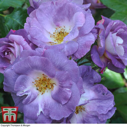 Rose 'Blue for You' (Floribunda Rose)