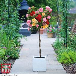 Rose Tricolour Standard