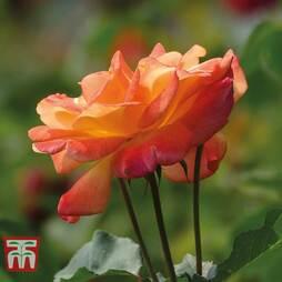 Rose 'Climbing Masquerade'