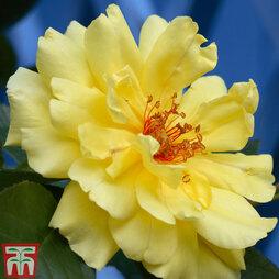 Rose 'Golden Showers' (Climbing)