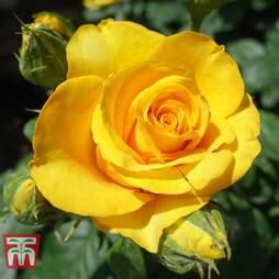Rose 'Breeder's Choice Gold' (Hybrid Tea Rose)