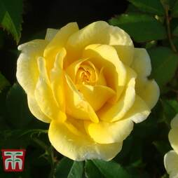 Rose 'Easy Elegance Yellow Brick' (Shrub Rose)