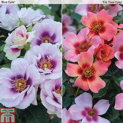 Rose 'Eyes Collection' (Floribunda Rose)