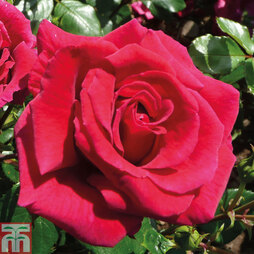 Rose 'Lovestruck'