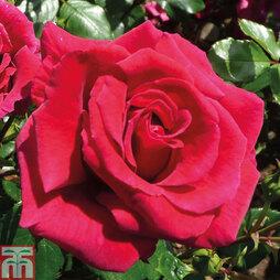 Rose 'Lovestruck'