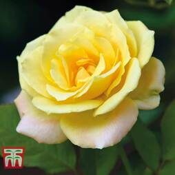 Rose 'Laura Ford' (Climbing Rose)