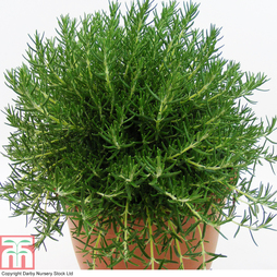 Rosemary 'Roman Beauty'