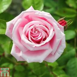 Rose 'Pink Perpétué' (Climbing)