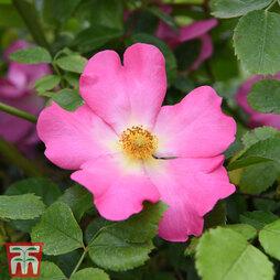 Rose 'Summer Breeze' (Climbing)