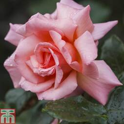 Rose 'Compassion' (Climbing)