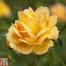 Rose 'Maigold' (Climbing)