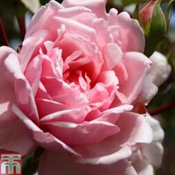 Rose 'Albertine' (Rambling Rose)