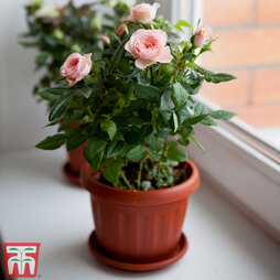 Rose 'Classic' (Miniature) (House Plant)