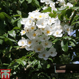 Rose filipes 'Kiftsgate' (Rambling Rose)