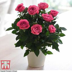 Rose 'Classic Victory' (Miniature) (House Plant)